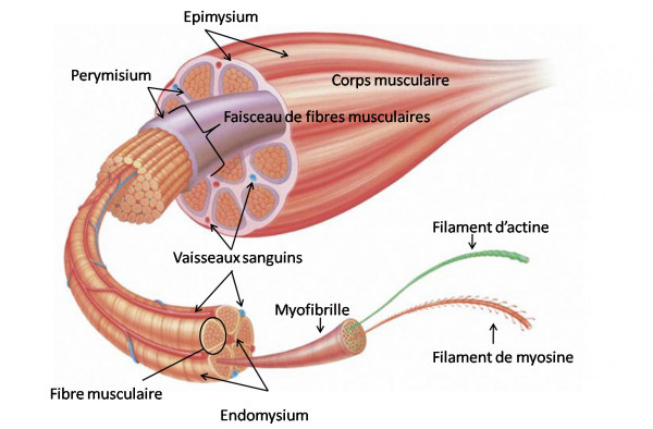 Intérêt de la connaissance de la fonction musculaire pour sa prise en charge lésionnelle